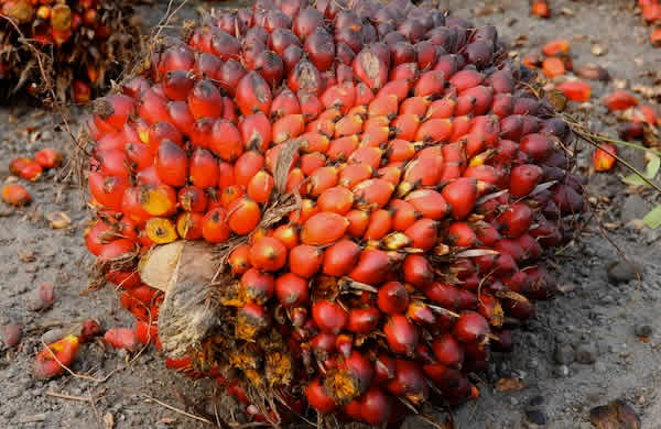 Oil Palm: PZWilmar and NIFOR Signed MoU OnResearch and Development.