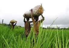 Achieving sufficiency in rice production requires a dedicated Customs Service