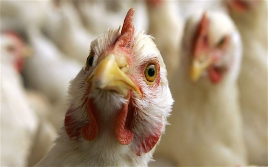 Poultry farmers suffer N200m loss on high input cost, low demand