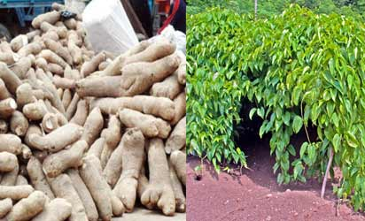 Agric-yam