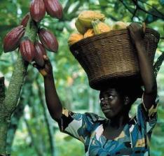 C'River Govt loses N130m revenue to ghost Cocoa farmers- Gov's Aide