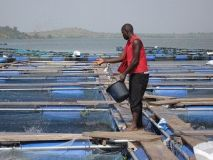 Double taxation on feed raw materials affecting fish price — Association