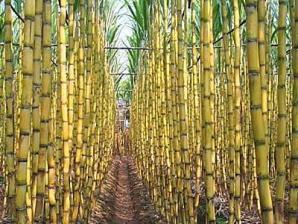 sugarcane-plantation