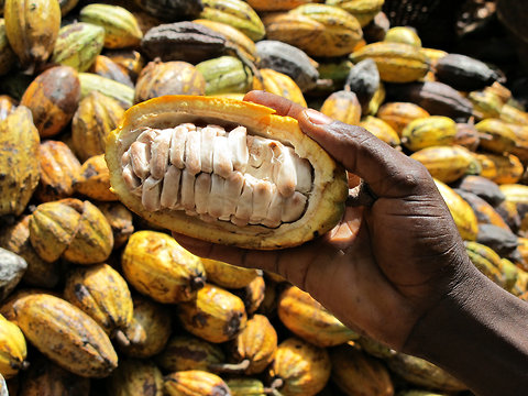 Nigeria's cocoa output hurt by policy flip-flop, inadequate research funding