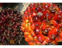 Oil Palm producers stocks may be value plays