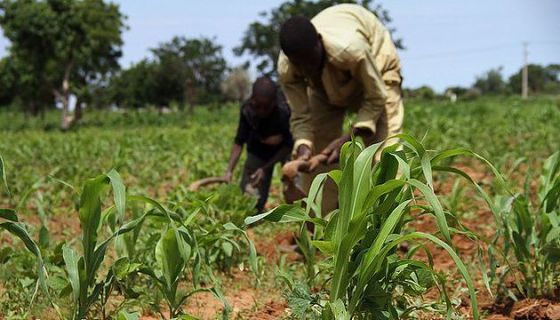 Grain importation and the case for the Nigerian farmer