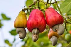 Osinbajo inaugurates cashew factory