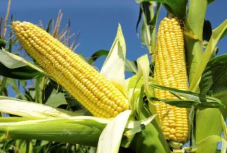 Locusts, armyworm threaten Nigeria's maize harvest
