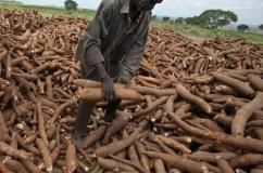 Kwara cassava farmers to receive FG's N1bn agric loan soon