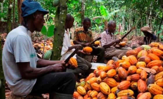 Ivorian cocoa piles up at ports as shippers halt purchases