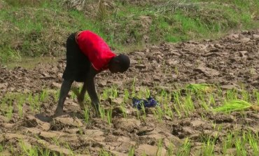 A future for local rice production