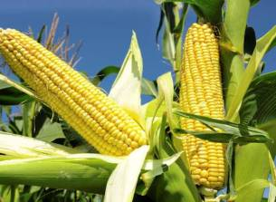Nigeria's maize industry valued at $6bn