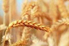 Farmers in Jigawa decry drop in prices of wheat