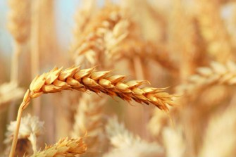 Scientists hope sugar spray will lift wheat yields