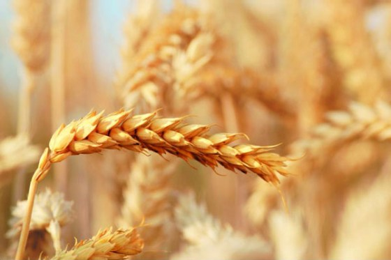 Farmers to cultivate 5,500 hectares of wheat in Jigawa
