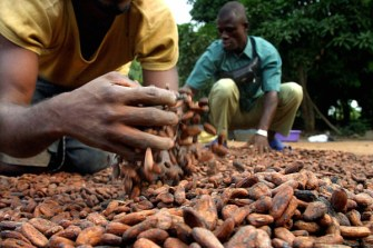 Nigeria Cocoa Purchases Slow on Low Bean Weight, Buyers Say