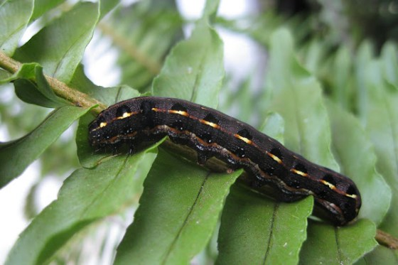 Zambia battles armyworms that are decimating corn fields