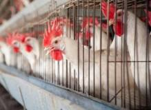 Poultry farmers get high-producing genotypes from ACGG to triple egg production
