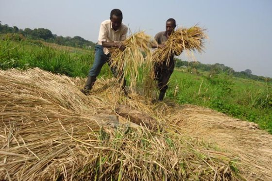 Climate change threatens to cut harvests in Uganda's region