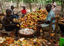 Nigeria's cocoa output to hit 203,300MT in December despite aging trees