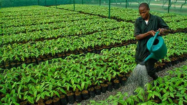 Kwara to distribute 50,000 cocoa seedlings to farmers