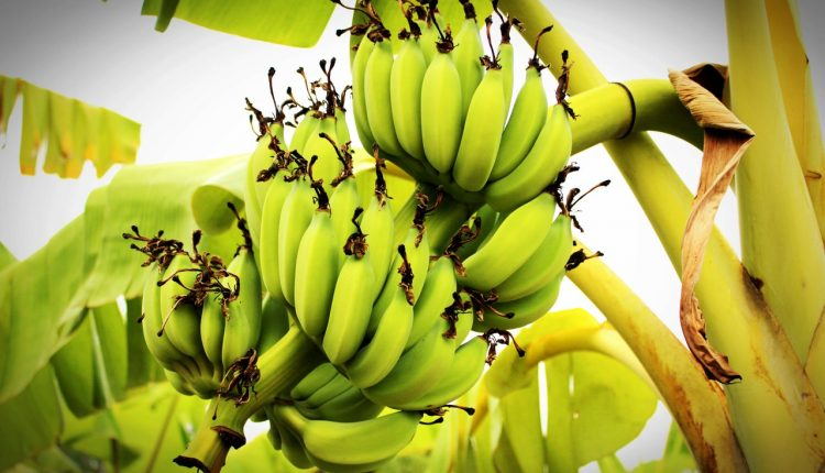 How to invest in plantain, banana plantation