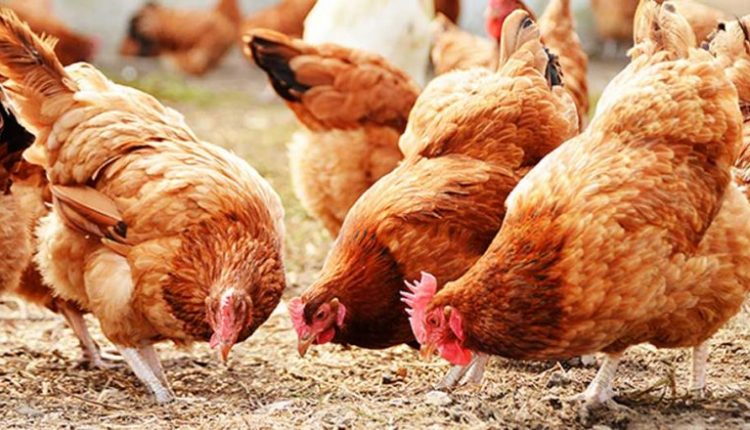 Poultry industry at risk of collapse over lockdown, farmers lament