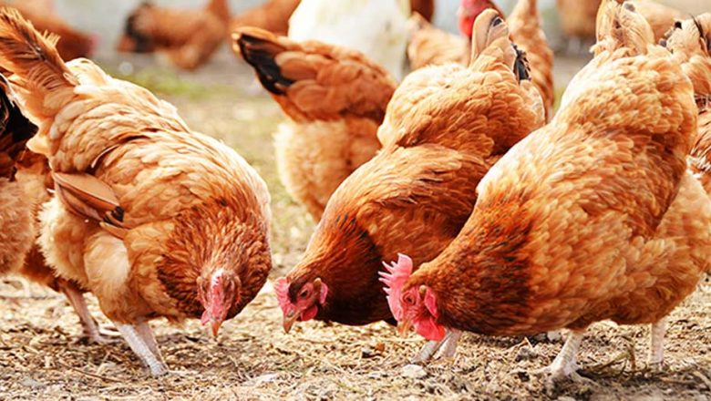 Poultry farmers seek FG's intervention on feeds