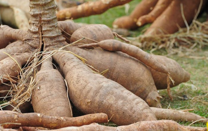 Tapping Opportunities in cassava value chains